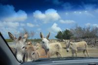 Esel beim Auto