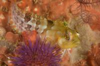 Lizardfisch