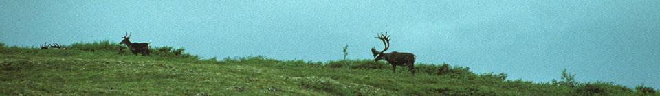 Karibus in Alaska